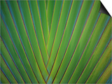 Close-Up of Palm Leaves, Bavaro, Punta Cana, Dominican Republic Poster by Jim Engelbrecht