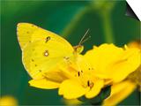 Orange Sulphur Butterfly Poster by Adam Jones