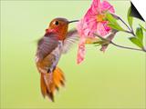 Rufous Hummingbird Feeding in a Flower Garden, British Columbia, Canada Stampa di Larry Ditto