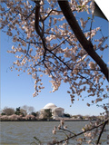 Cherry Blossom Festival, Washington DC, USA, District of Columbia Prints by Lee Foster