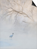 Hooded Crane Walks Through a Cold River under Hoarfrost-Covered Trees, Tsurui, Hokkaido, Japan Prints by Josh Anon