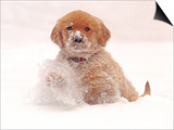 Golden Retriever Pup in Snow Prints by Chuck Haney