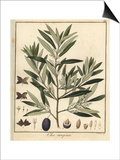Olive Tree, Olea Europaea Prints by F. Guimpel