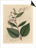 Pink Flowered Peruvian Bark Tree, Cinchona Officinalis Prints by James Sowerby