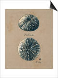 Vintage Linen Sea Urchin Art by  Regina-Andrew Design