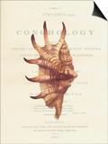 Conchology Strombus Lambis Prints by  Porter Design
