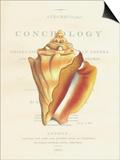 Conchology Strombus Pugilus Poster by  Porter Design