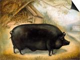 Large Black Pig Posters by  Porter Design