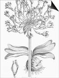 Delicate Amarylis Prints by  Porter Design