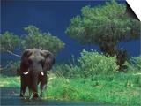 Male Elephant under Stormy Skies on Bank of Zambezi River, Zimbabwe Poster by John Warburton-lee