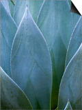 Agave V Prints by Thea Schrack