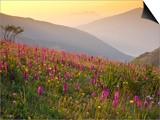 Italy, Umbria, Forca Canapine, Pink Orchids Growing at the Forca Canapine, Monti Sibillini National Posters by Katie Garrod