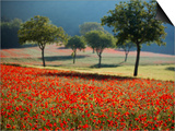 Italy, Umbria, Norcia, Walnut Trees in Fields of Poppies Near Norcia, Bathed in Evening Light Art by Katie Garrod
