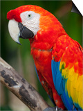 Bali, Ubud, a Greenwing Macaw Poses at Bali Bird Park Prints by Niels Van Gijn