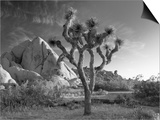California, Joshua Tree National Park, USA Prints by Alan Copson