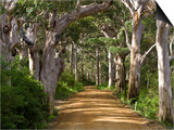 Avenue of Trees, West Cape Howe Np, Albany, Western Australia Poster von Peter Adams