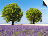 Two Trees in a Lavender Field, Provence, France Prints by Nadia Isakova