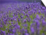 England, Kent, Shoreham, Lavender Fields at Shoreham, in North Kent Poster by Katie Garrod