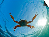 Djibouti, A Red Swimming Crab Swims in the Indian Ocean Prints by Fergus Kennedy