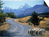 Sheep Nr. Mt. Cook, New Zealand Prints by Peter Adams
