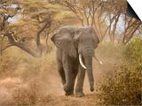 Loxodonta Africana, Lake Manyara National Park, Tanzania Prints by Ivan Vdovin