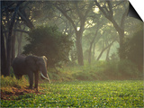 Elephant in the Early Morning Mist Feeding on Water Hyacinths, Mana Pools, Zimbabwe Plakater af John Warburton-lee