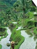 Rice Fields, Central Bali, Indonesia Poster von Peter Adams