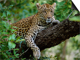 Female Leopard Rests in the Shade, Lying on the Branch of a Tree Posters by John Warburton-lee