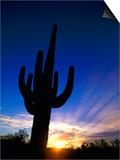 Saguaro National Park, Cactus, Sunset, Arizona, USA Art by Steve Vidler