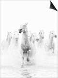 White Horses of Camargue Running Through the Water, Camargue, France Posters by Nadia Isakova