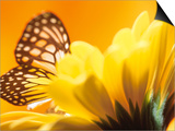 Monarch Butterfly on Daisy Prints