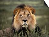 Alert Lion Lying Down in Grass Print