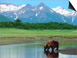 Grizzly Bear Drinking from Stream in Valley Amongst Snow-Capped Mountains Prints