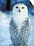 Snowy Owl Standing in Snow Prints