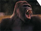 Black Gorilla Showing Teeth Posters