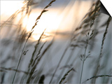 Bright Sunlight Shining on Water Behind a Silhouete of Tall Prarie Grass Prints