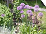 Blooming Purple Chive Flowers in Garden Art