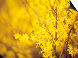 Selective Focus of Blooming Yellow Flower Buds on Branches Prints
