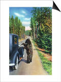 Yellowstone Nat'l Park, Wyoming - Bear Begging by a Car Posters