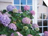 Purple Hydrangea in Front of Glass Window Print