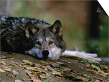 Wolf (Canis Lupus) Lying Down, USA Prints by Carol Polich