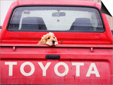 Dog Waiting on Back of Ute Posters by Andrew Bain
