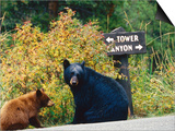Black Bear with Cub Sitting by Road with Signpost in Background, Yellowstone National Park, Wyoming Art by Christer Fredriksson