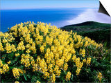 Tree Lupine at Point Reyes National Seashore, Marin County, California Posters by John Elk III