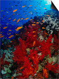 School of Anthias Near Red Soft Coral on Abu Nuhas Reef in Red Sea, Suez, Egypt Prints by Mark Webster