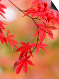 Red Maple Leaves at Okochi-Sanso Villa Teahouse and Gardens Posters by Brent Winebrenner