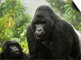Silverback Agashya and Baby in Group 13 Gorilla Family Prints by Douglas Steakley