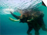 Male Indian Elephant (Elephas Maximus Indicus) Swimming Underwater Posters by Astrid Schweigert