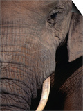 Tusk and Trunk Detail of an Elephant in the Addo Elephant Park,Eastern Cape, South Africa Print by Carol Polich