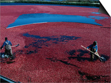 Workers Hard at it During the Cranberry Harvest of Cape Cod Prints by Kim Grant